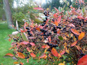 Svartsurbær hekk
